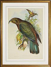 John Gould (1804 - 1881) - Nestor Notabilis (John Gould's 'Birds of Australia' 1840-1848) 51 x 35cm