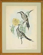 John Gould (1804 - 1881) - Lunulated Wattle Bird (Anthocilera Lunulata) 47.5 x 34cm