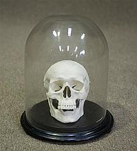 A Human Replica Skull in glass Dome