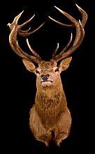 Scottish Red Stag Mount