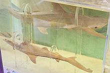 Preserved scallophead sharks