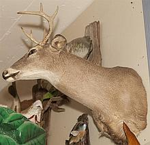 Mounted deer head