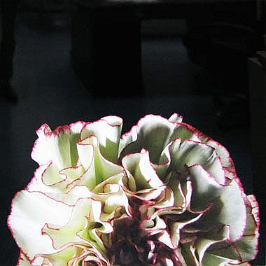 THOMAS DE HOGHTON (b.1980), 'Red Dahlia', lambda