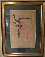 Pair large antique French framed prints Birds of Paradise in gilt frames me