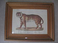Pair framed Lion and Tiger prints 32.5cms x 45.5cm