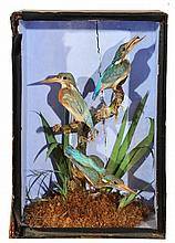 A VICTORIAN CASE OF THREE PRESERVED KINGFISHERS,