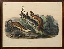 AUDOBON LITHO BRIDLED WEASELS PRINTED BY JT BOWEN
