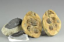 (3) Pcs Prehistoric Trilobite Specimens