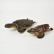 Lote de tortugas de carey. Siglo XX. Taxidermia. Diferentes tamaños.