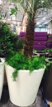 4' x 4' White Planter with 10ft. Windmill Palm