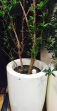 2' x 4' White Planter with Japanese Blueberry