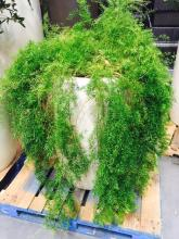 2' x 4' White Planter with Asparagus Fern