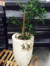 2' x 4' White Planter Japanese Blueberry