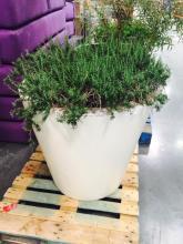 4' x4' White Planter with Rosemary Bush