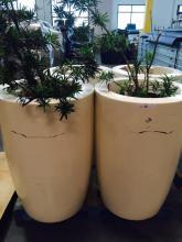 Lot of (2) 2' x 4' White Planters with Podocarpus
