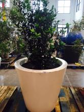 4' x 4' White Planter with Japanese Blueberry