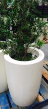 2' x 4' White Planter with Podocarpus