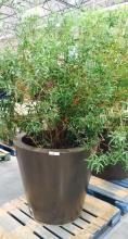 4' x 4' Brown Planter with African Sumac