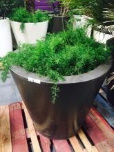 4' x 4' Brown Planter with Asparagus Fern