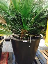 4' x 4' Brown Planter with Mediterranean Fan Palm