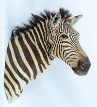 Taxidermy African Zebra Trophy Head