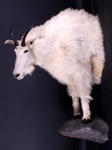 Trophy Montana Mountain Goat Half Body Mount