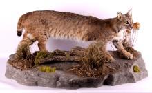 Montana Bobcat Full Body Mount