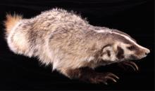 Montana Full Body Badger Mount