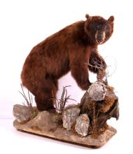 Montana Cinnamon Black Bear Fully Body Mount