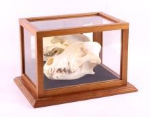 Montana Timber Wolf Skull in Oak Display Case