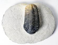 450 Million Year Trilobite,