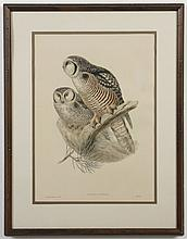 JOHN GOULD (1804-1881) HAND-COLORED PRINT - Lithograph printed on paper, titled