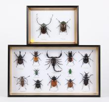 FRAMED, MOUNTED BEETLES AND SCORPION - 14 specimens in two frames: in the smaller, a Long-arm Scarab male and female; in the larger,...