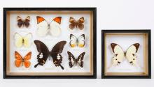 9 FRAMED, MOUNTED BUTTERFLY SPECIMENS - In two frames; one containing a Mocker Swallowtail, the other to include an Orange Albatross...