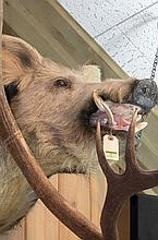 TAXIDERMY: RUSSIAN WILD BOAR - Shoulder mount, taken in Texas