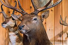 TAXIDERMY: ROCKY MOUNTIAN ELK - Shoulder mount