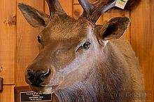 TAXIDERMY: TULE ELK - Shoulder mount