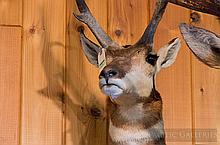 TAXIDERMY: PRONGHORN ANTELOPE - Shoulder mount