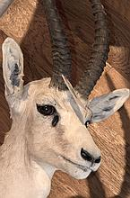 TAXIDERMY: WESTERN BUSH DUIKER - Shoulder mount