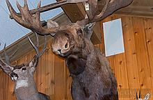 TAXIDERMY: ALASKA YUKON MOOSE - Shoulder mount