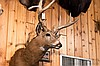 TAXIDERMY: WEST VIRGINIA WHITETAIL DEER - Shoulder mount