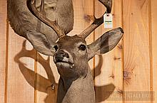 TAXIDERMY: WHITETAIL DEER - Shoulder mount, taken in New Zealand