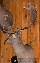 TAXIDERMY: FALLOW DEER - Shoulder mount, Taken in Hungary