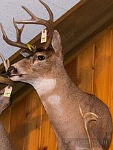 TAXIDERMY: BLACKTAIL DEER - Shoulder mount