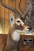 TAXIDERMY: WHITE EAR KOB - Shoulder mount