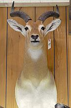 TAXIDERMY: WESTERN KOB - Shoulder mount