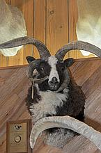TAXIDERMY: FOUR HORN SHEEP - Shoulder mount, taken in Texas