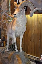 TAXIDERMY: MARCO POLO SHEEP - Full mount on environmental stand
