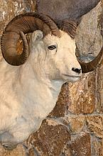 TAXIDERMY: DAHL SHEEP - Shoulder mount