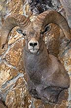 TAXIDERMY: DESERT SHEEP - Shoulder mount